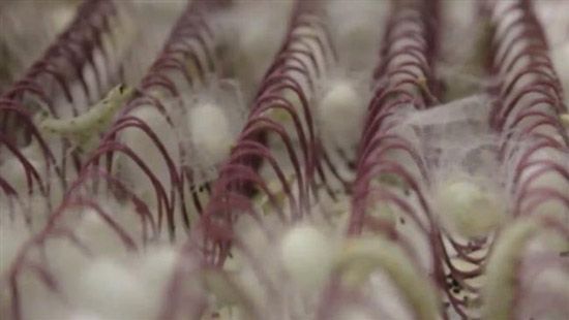 اصلاح ژنتیکی کرم ابریشم برای تولید ابریشم ضد گلوله   فیلم