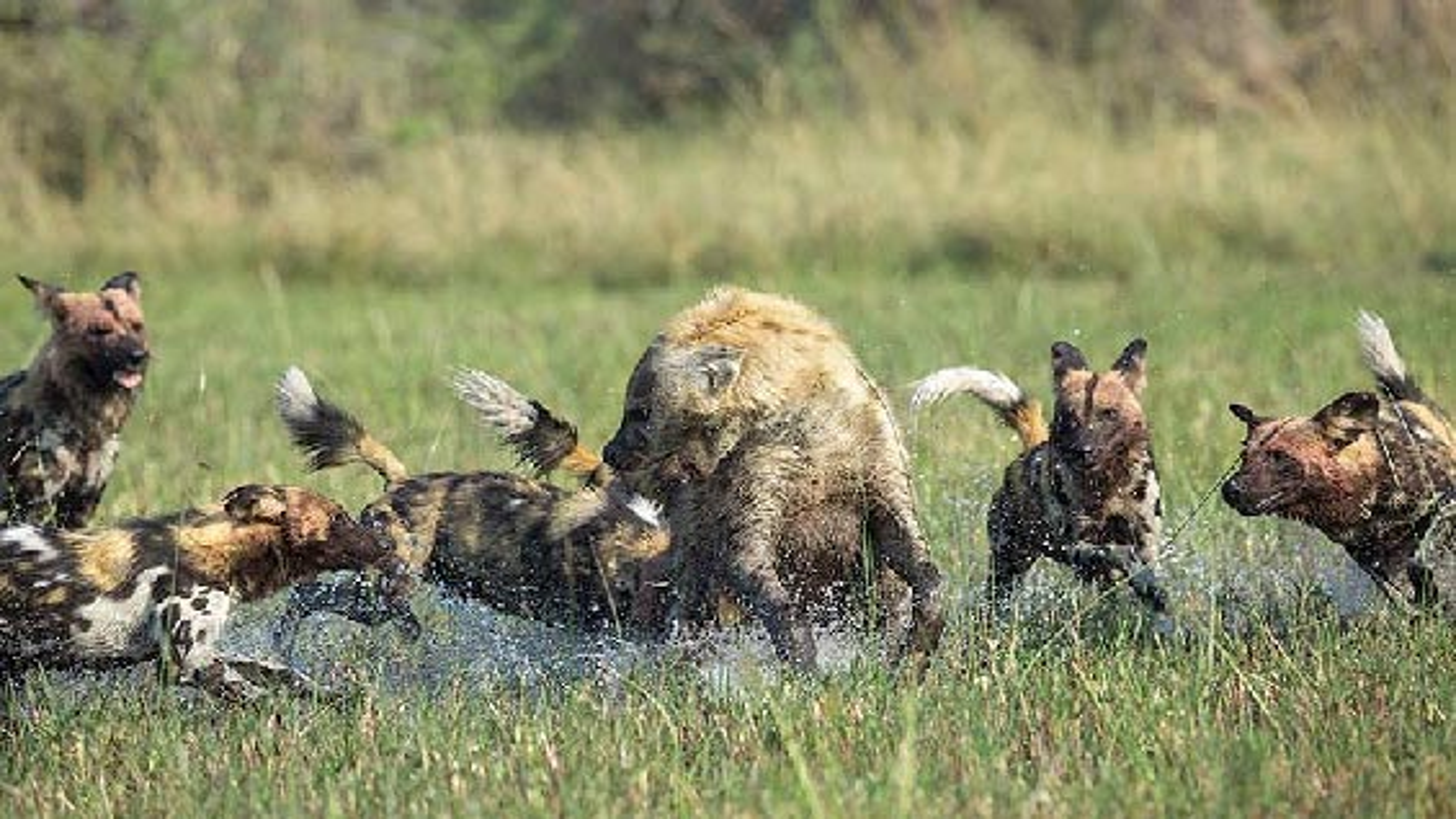 حمله سگهای وحشی به کفتار تنها | فیلم