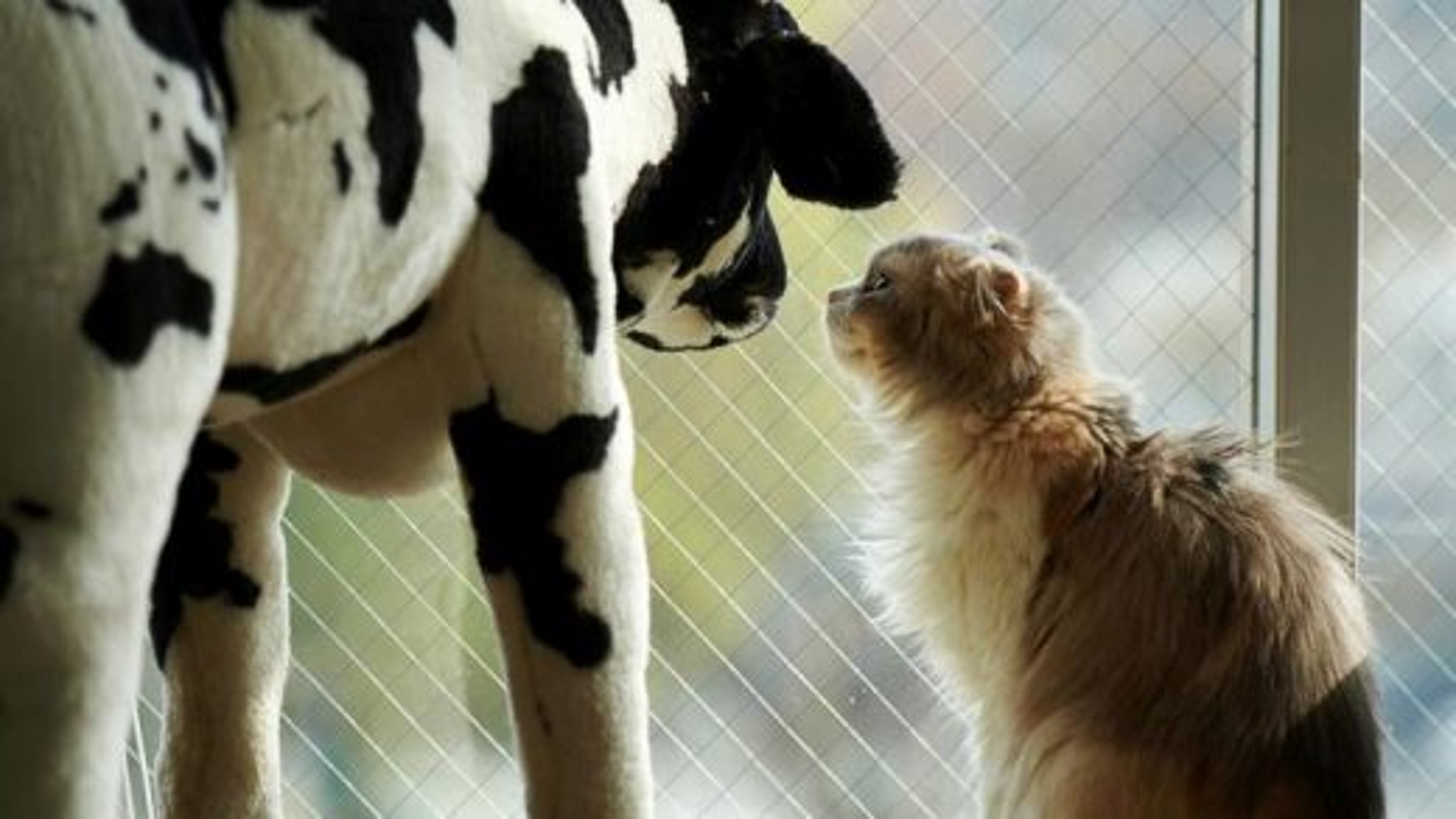 گربه و گاو | تگ