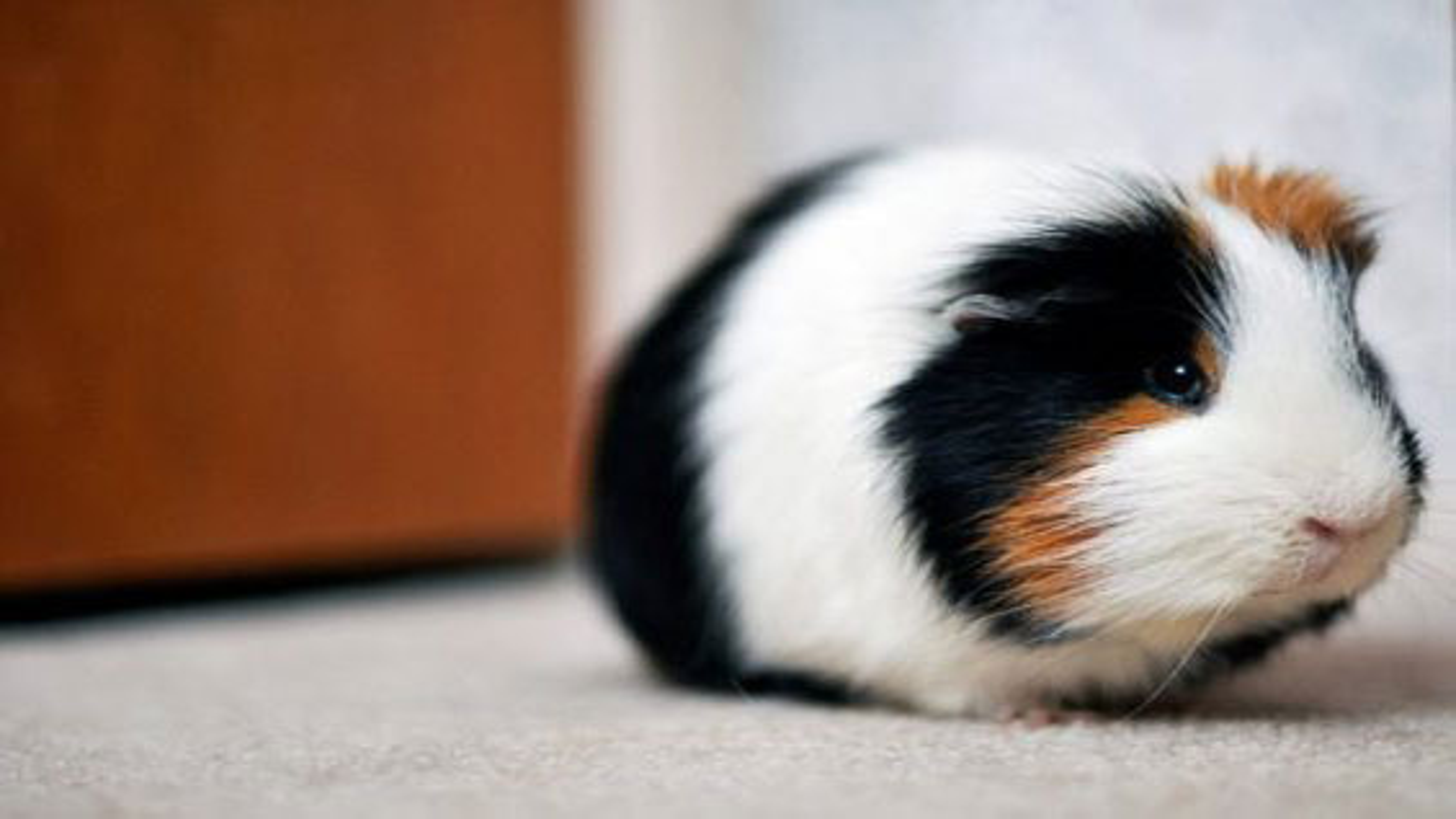 خوکچه همستر های بانمک | فیلم