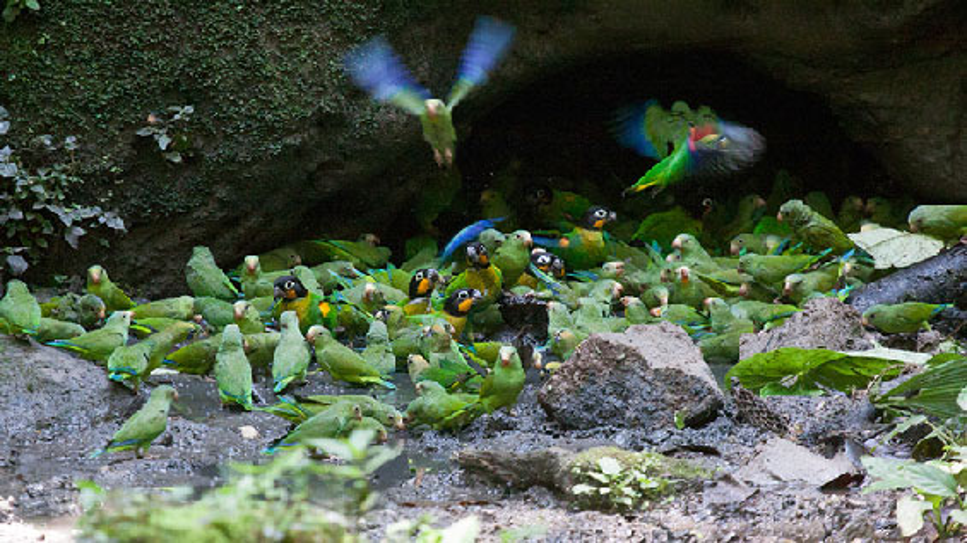 صحنههایی دیدنی از مرغ عشقهای وحشی جنگل آمازون | فیلم