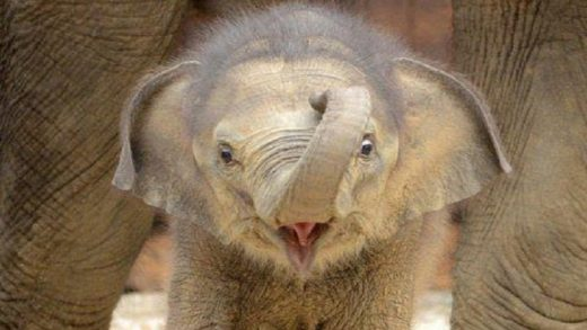 بچه فیل | تگ