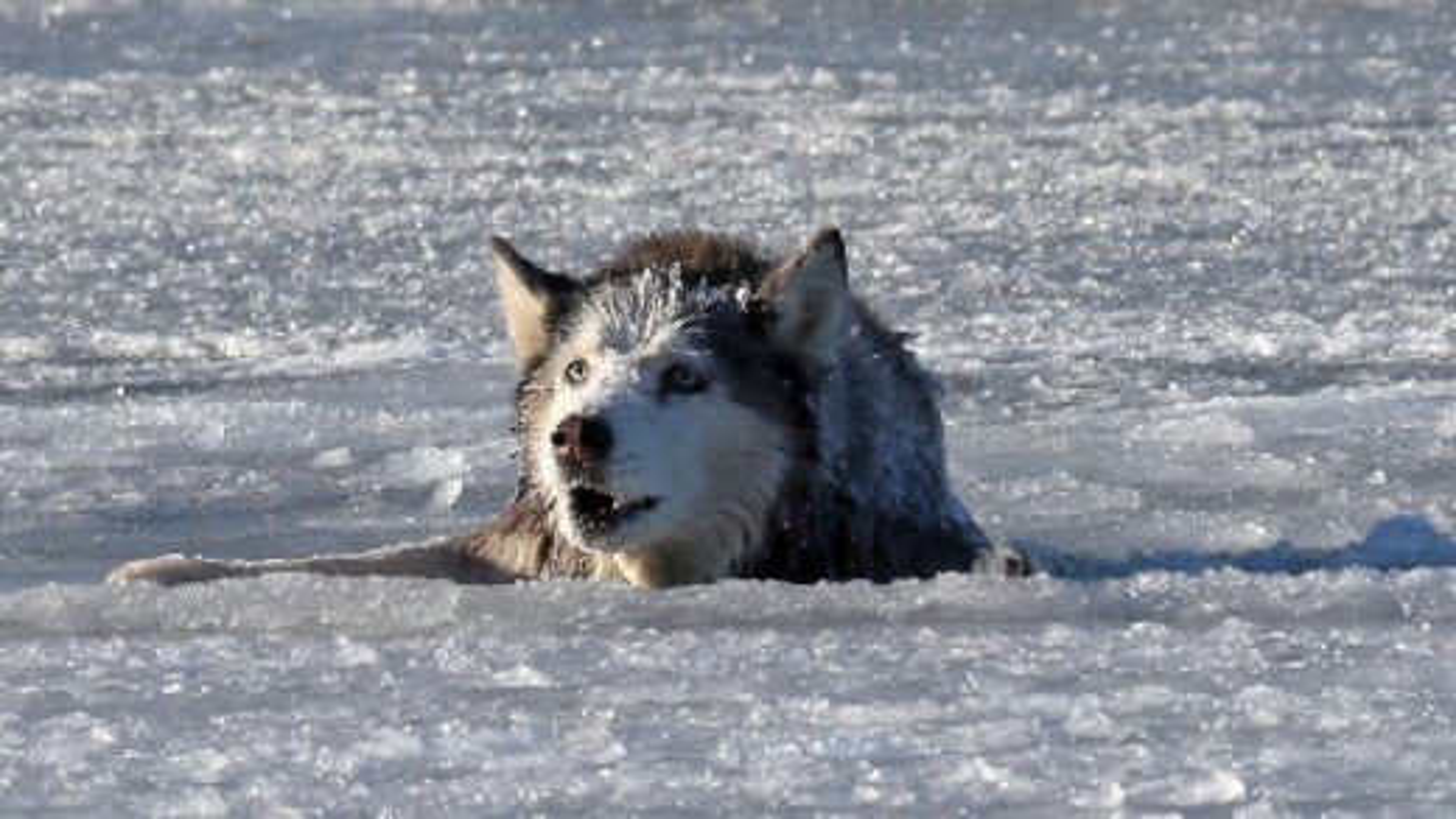 نجات یک سگ از دریاچه یخ زده|تگ
