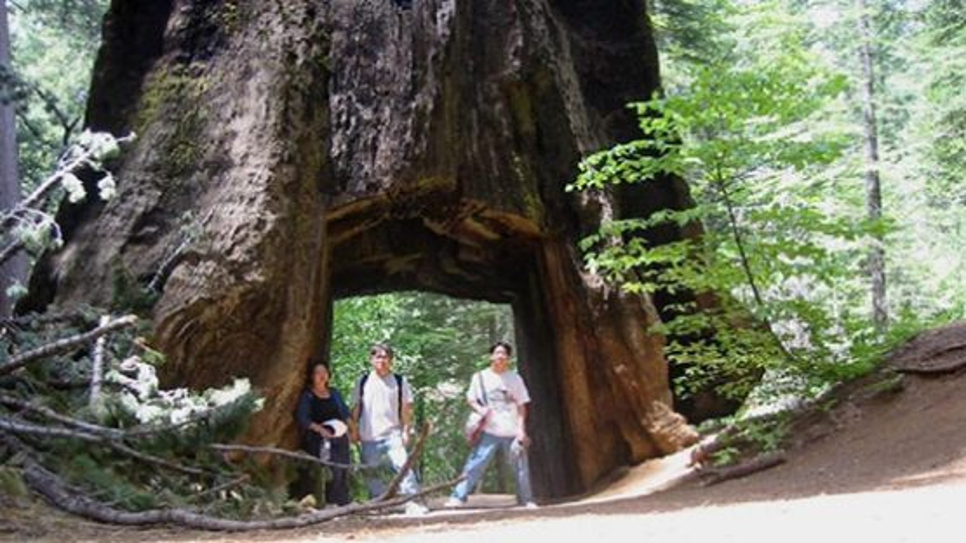 شبیه سازی و دوباره کاشت درخت سه هزارساله سکویا | فیلم