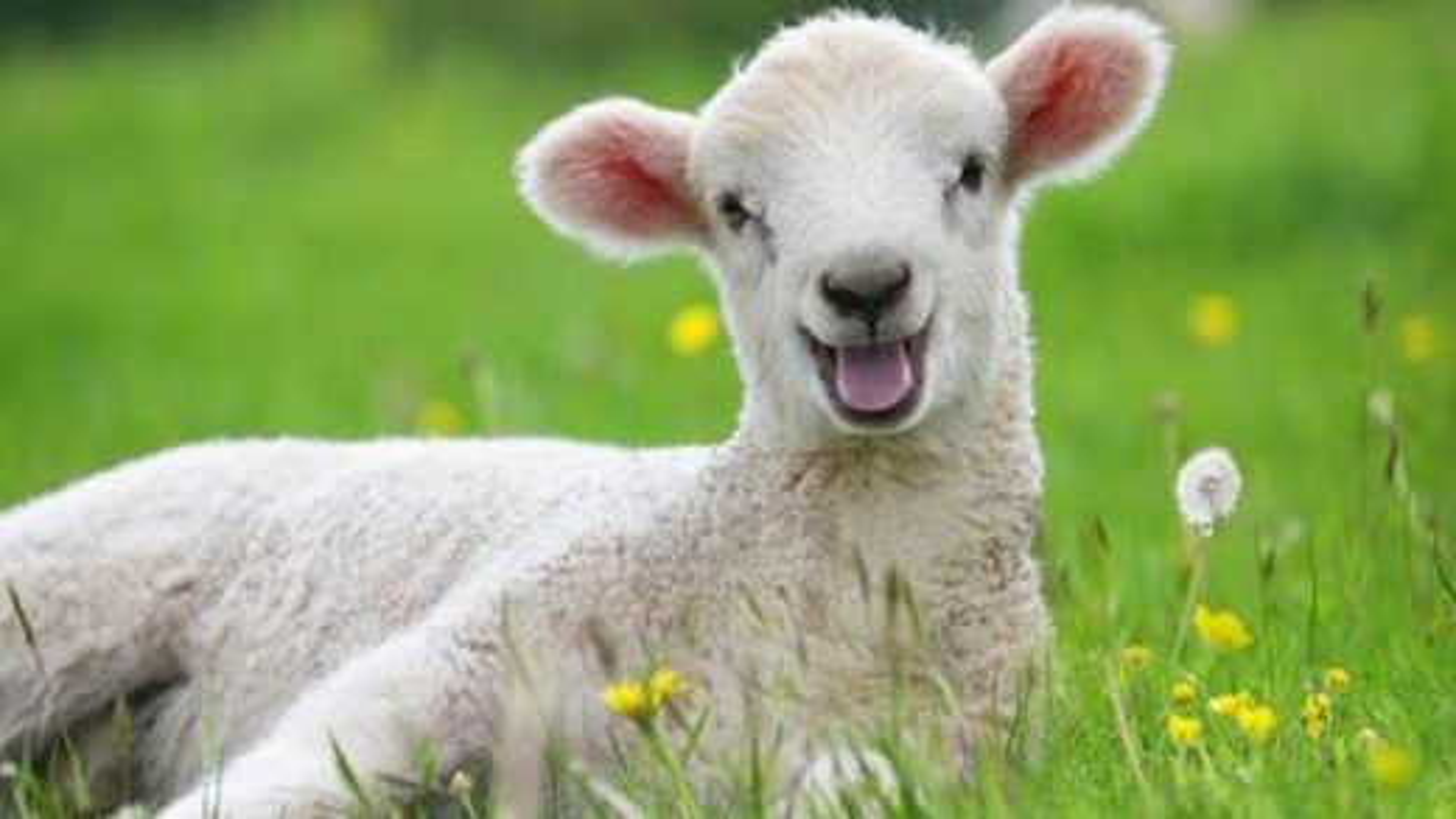 گوسفند | تگ