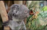 Koala Bear and Butterfly's Playing