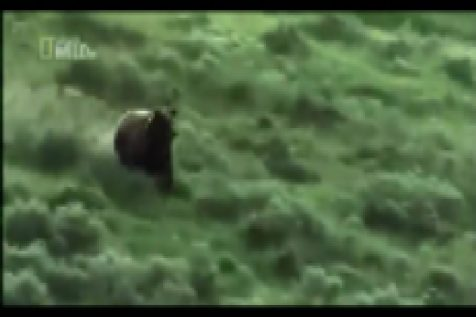 Mom Bison Fights Grizzly Bear