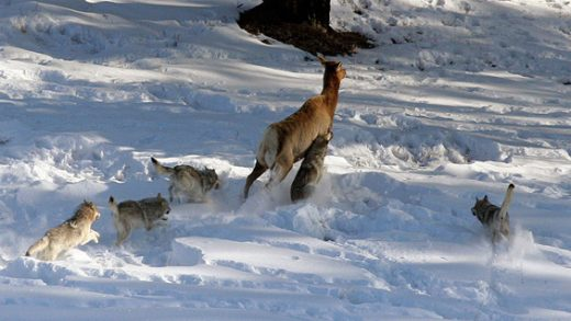 حمله گله گرگهای گرسنه به دسته گوزنها|تگ