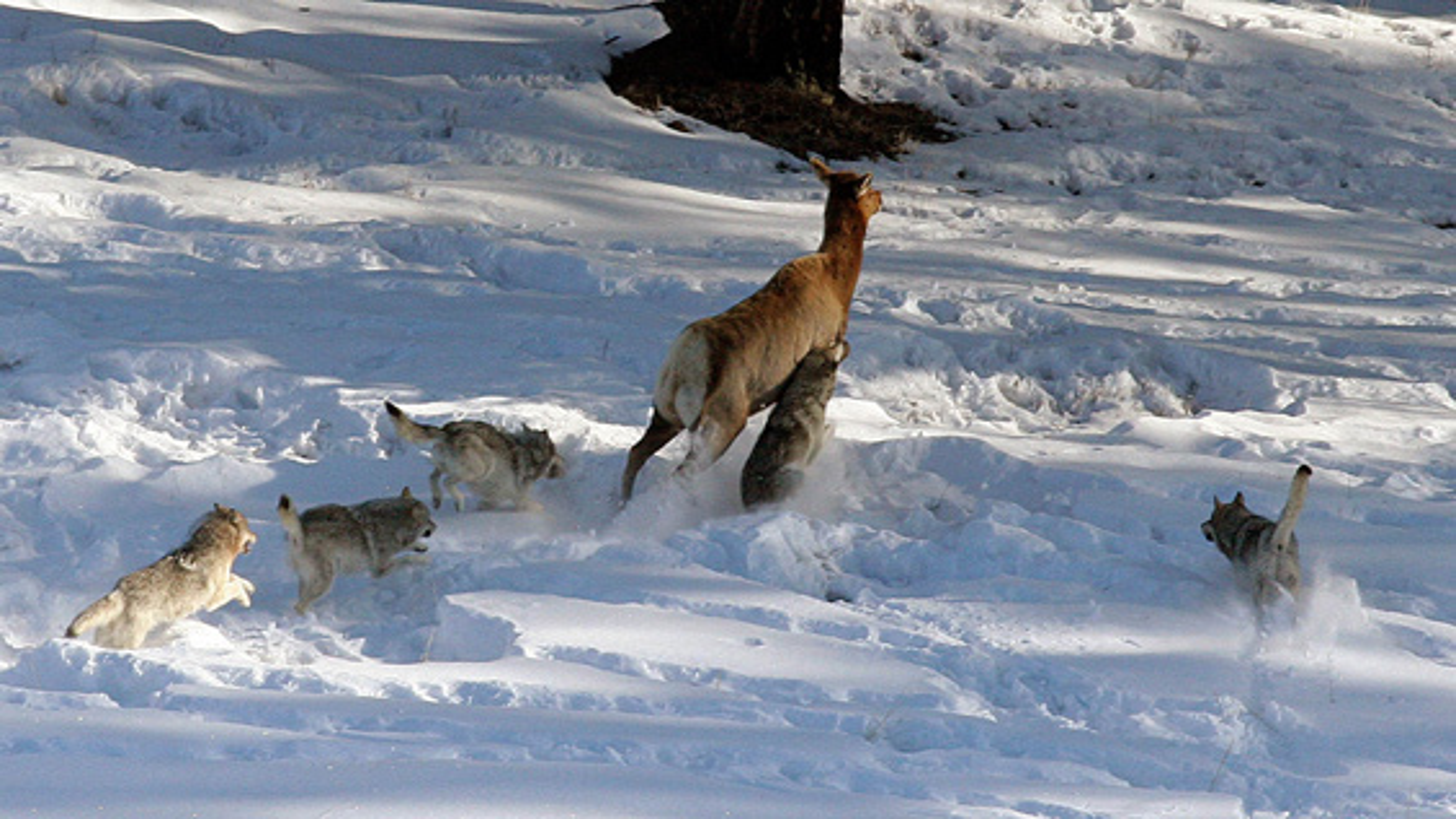 حمله گله گرگهای گرسنه به دسته گوزنها | فیلم