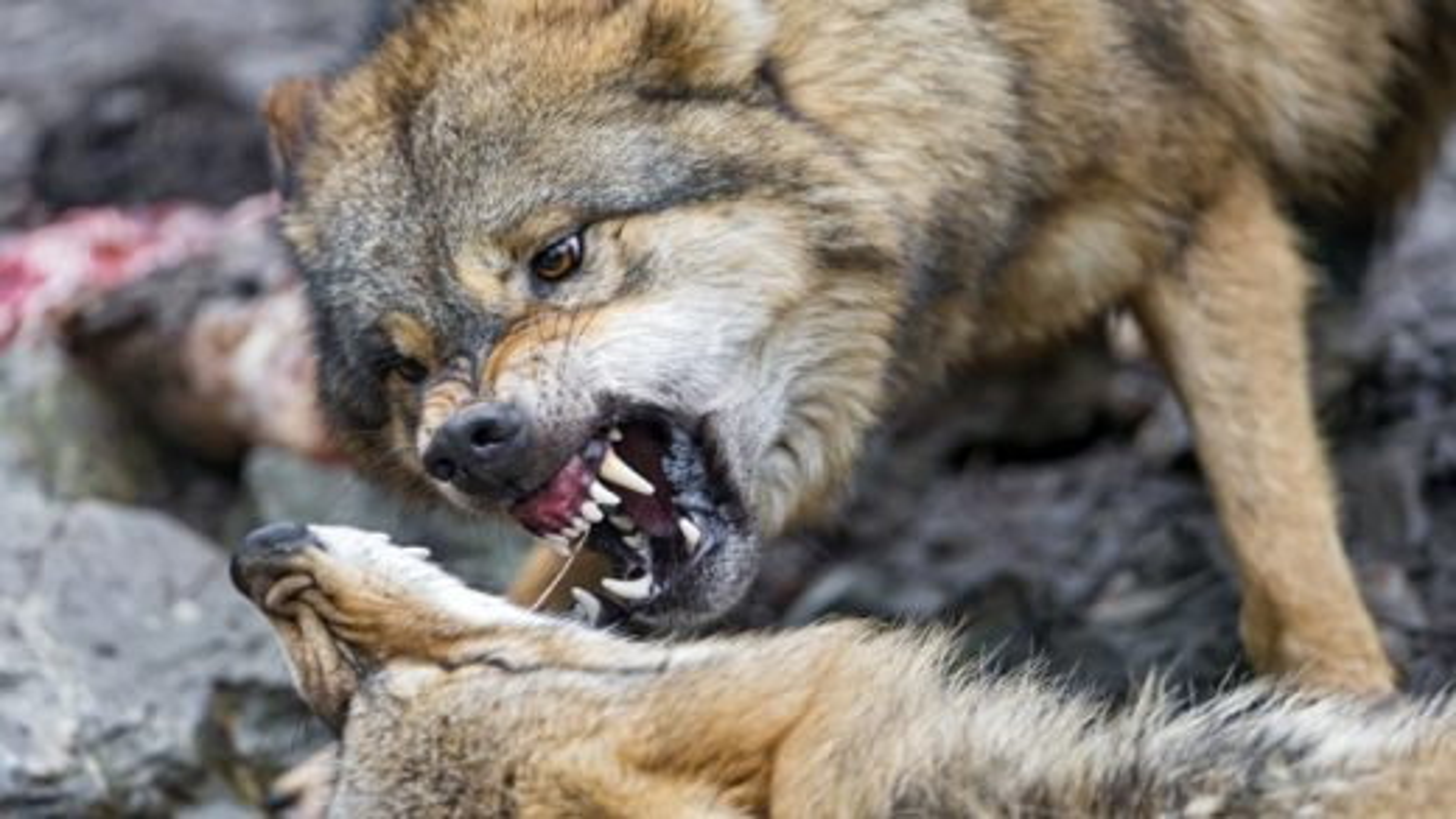 درگیری گرگهای گرسنه بر سر شکار | فیلم