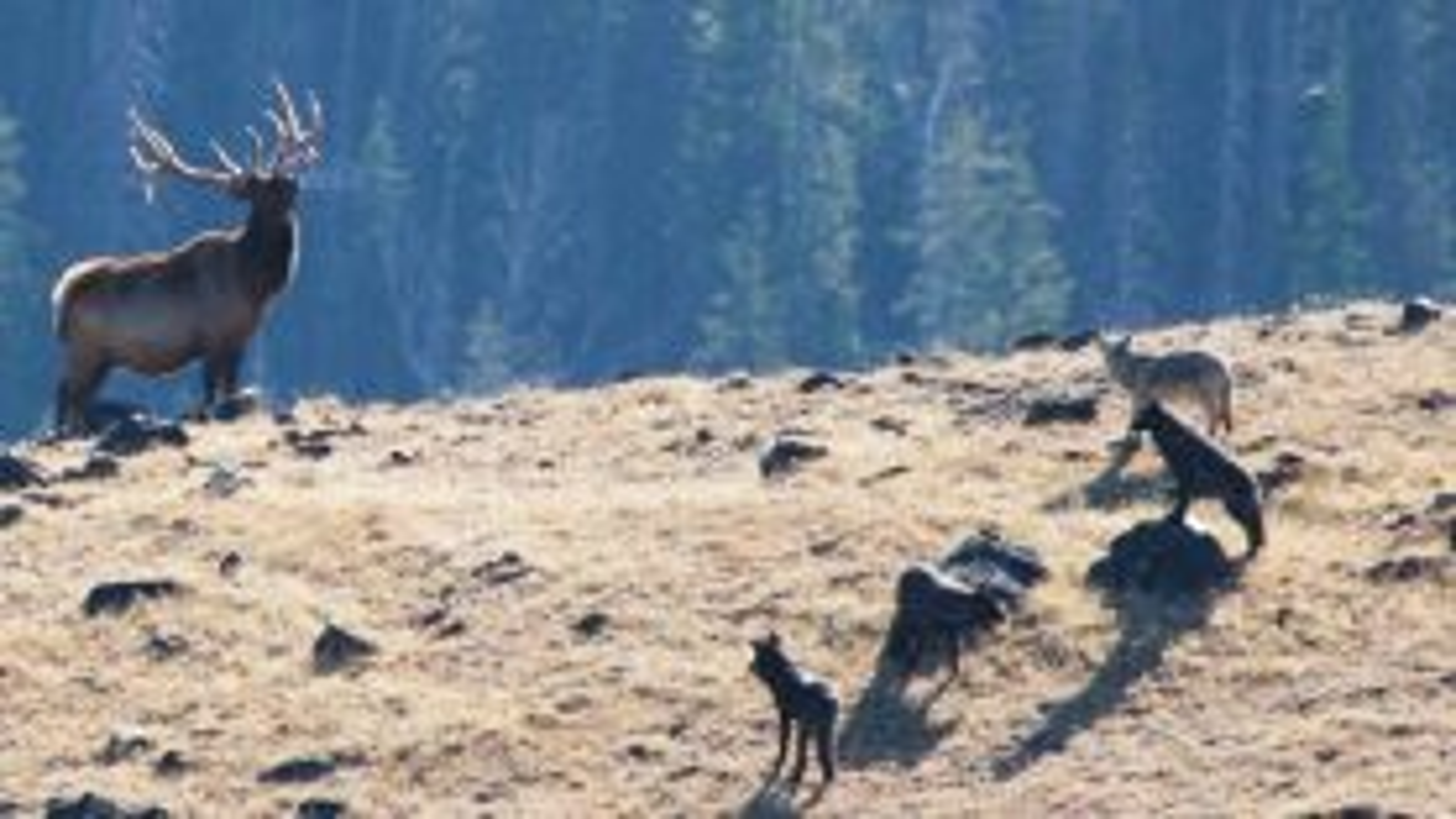 تعقیب و گریز گرگها و گوزنها در پارک یلو استون آمریکا   فیلم