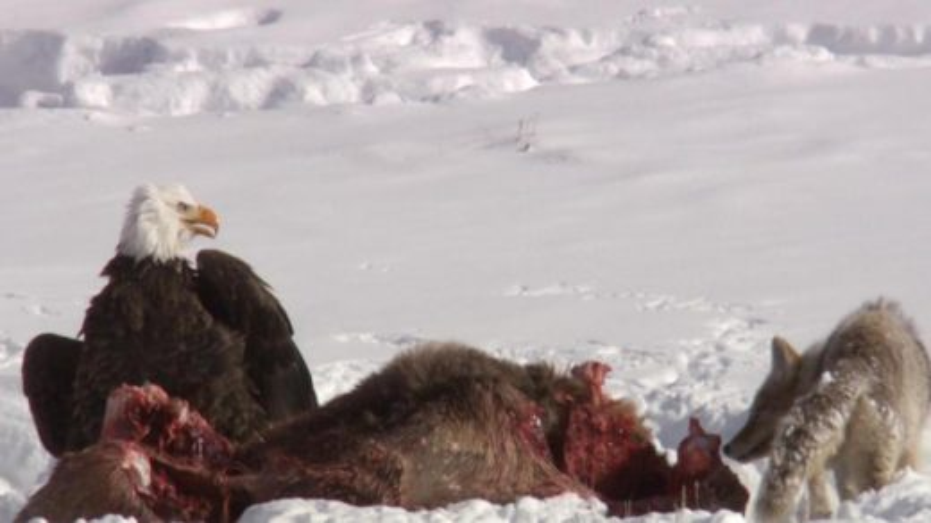 نبرد کایوت و عقاب آمریکایی بر سر لاشه شکار | فیلم