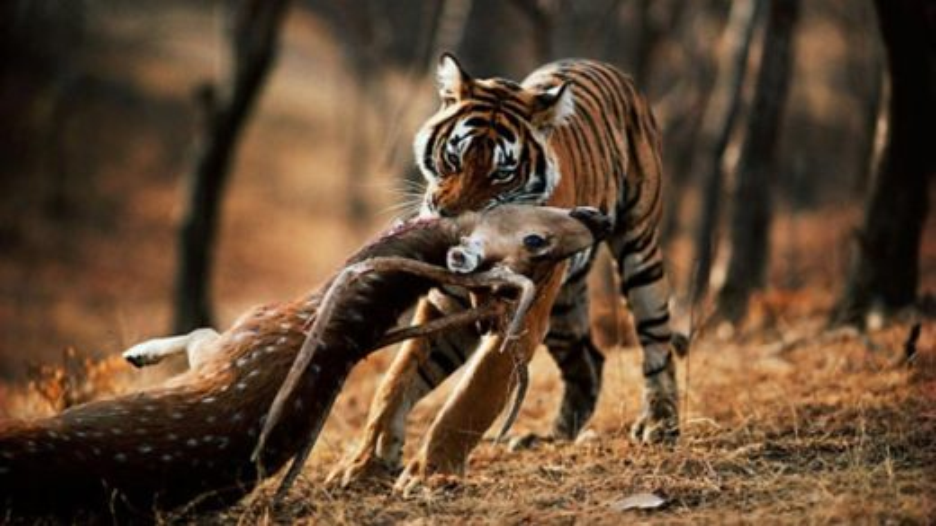 ببر ماده بالغ به تولههایش آموزش شکار میهد | فیلم
