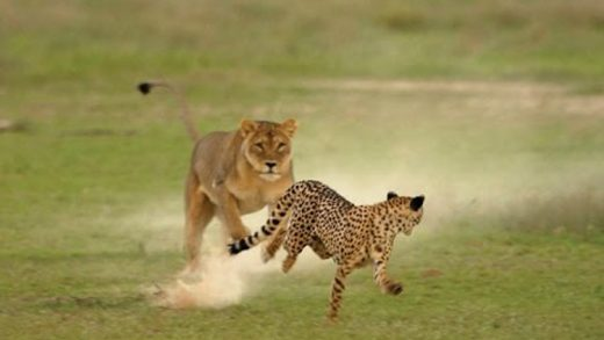 شجاعت چیتای ماده در مقابل شیر برای دفاع از تولههایش | فیلم