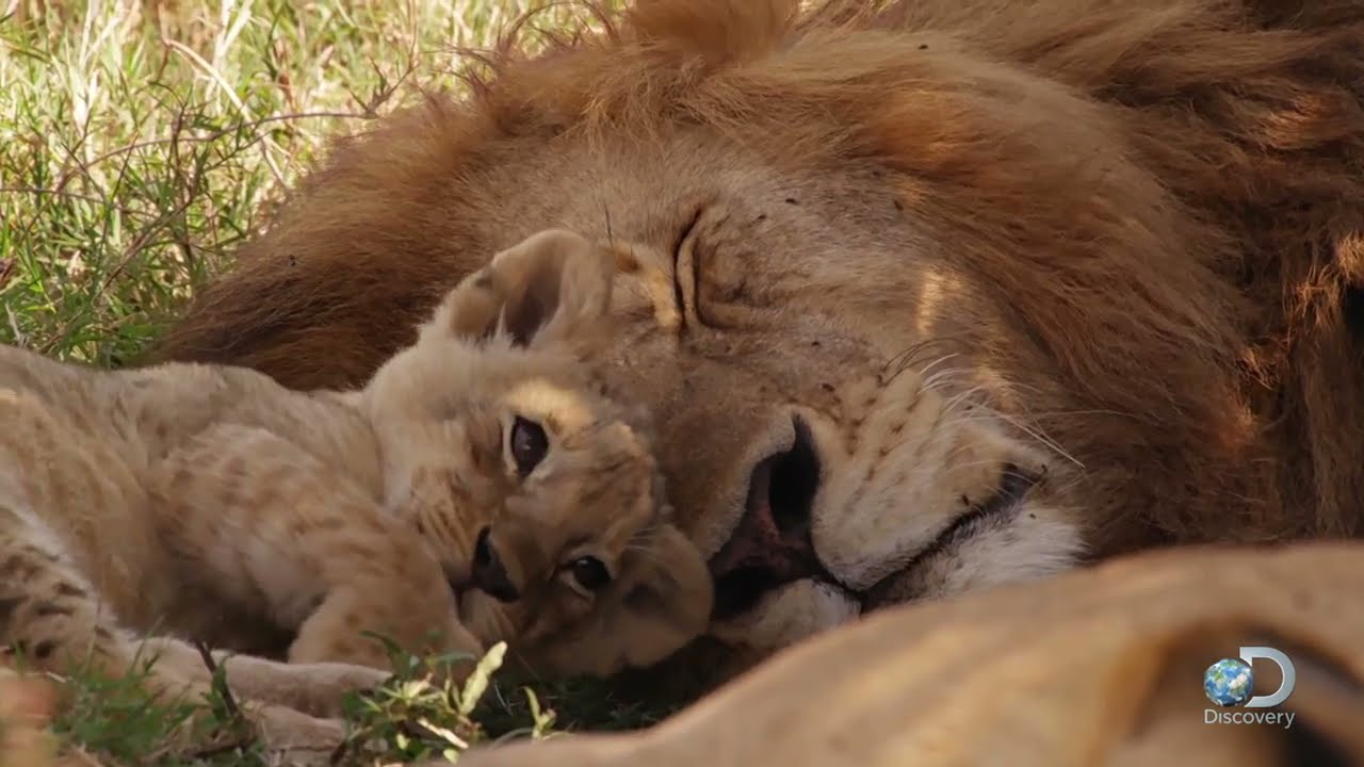 ورود توله شیرها به گله و نقش شیر نر در حفاظت از آن ها | فیلم