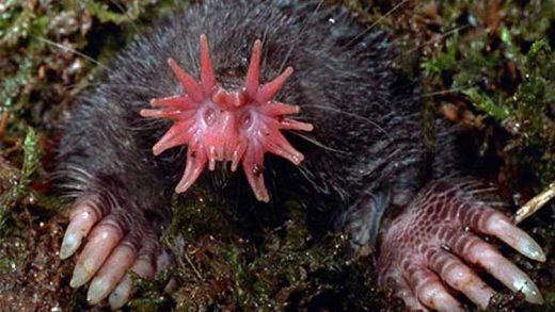 عجیبترینهای حیات وحش؛ موش کور بینیستارهای | فیلم
