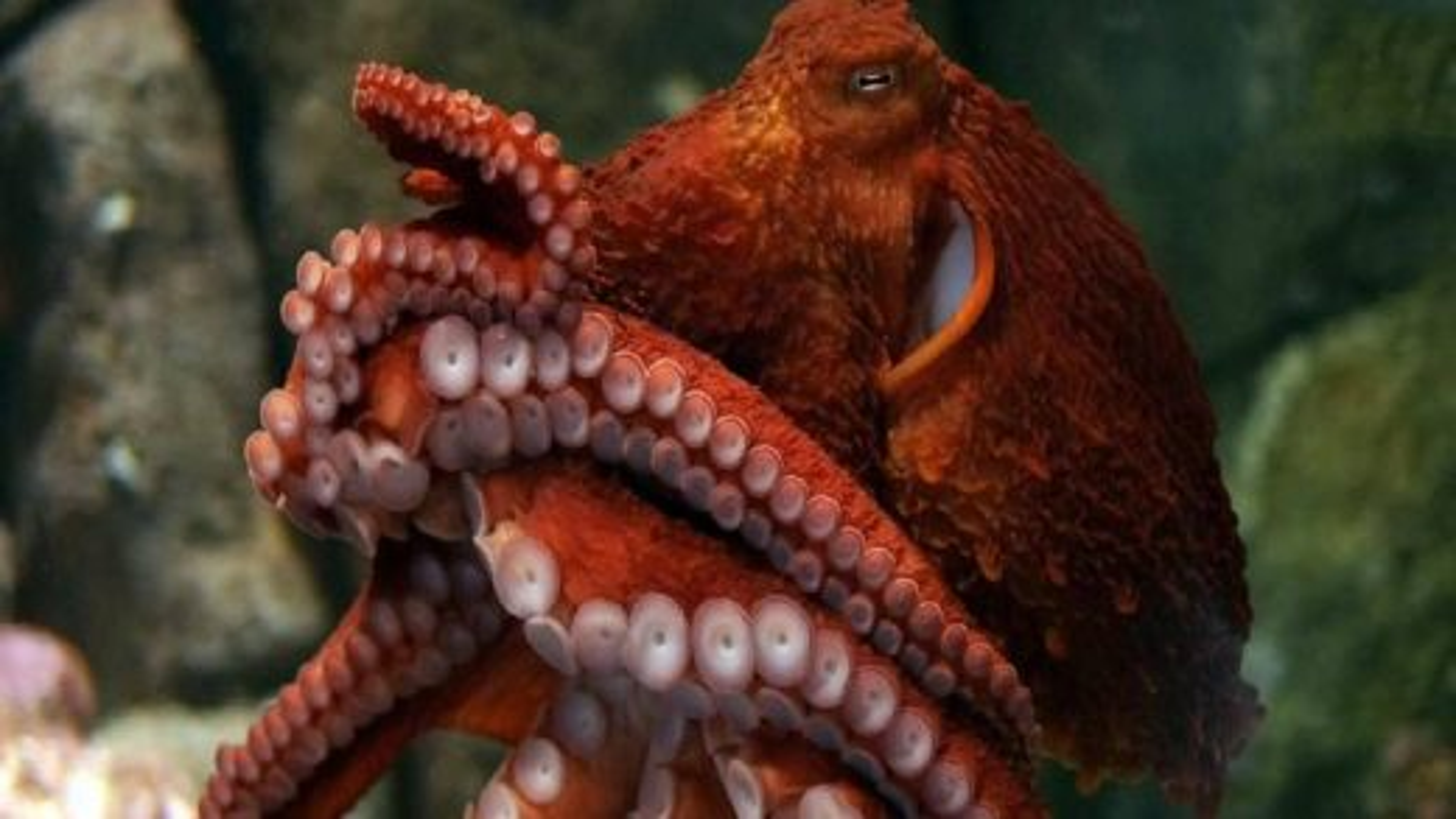 اختاپوس اقیانوس آرام | تگ