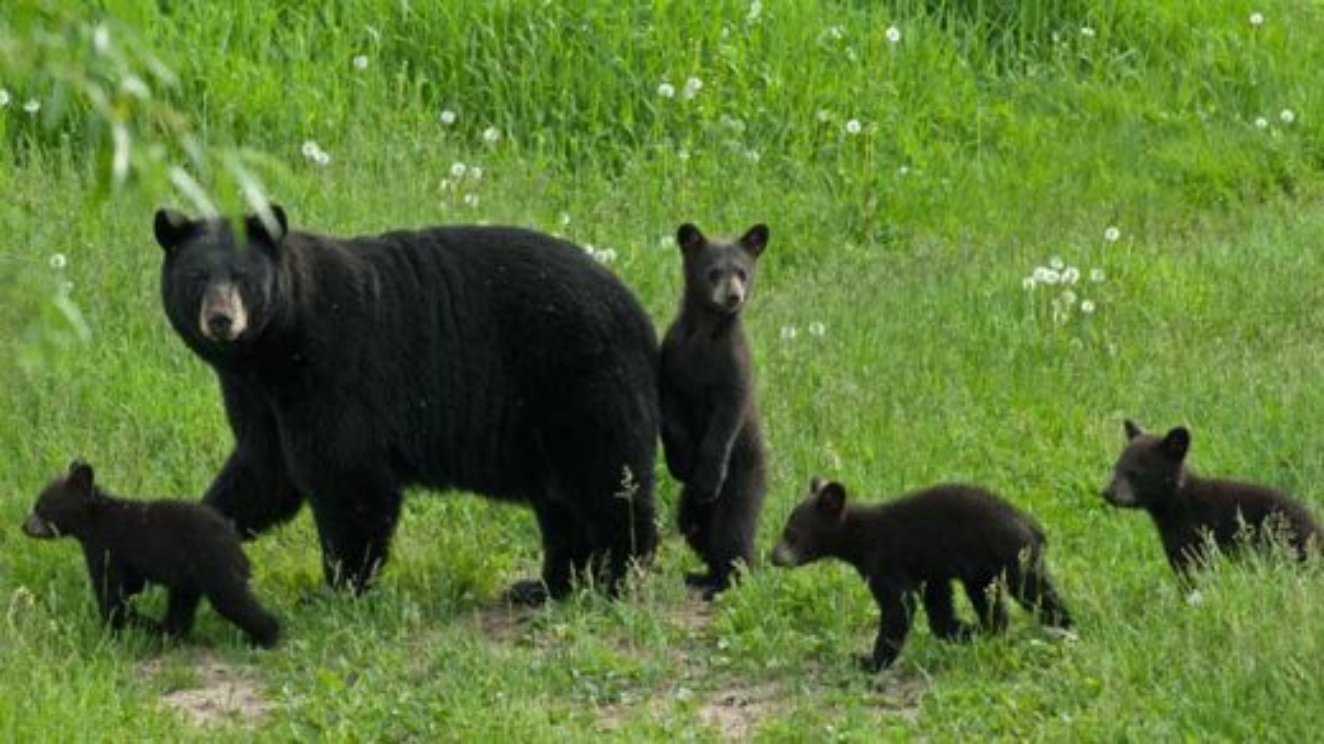 خرس سیاه | تگ