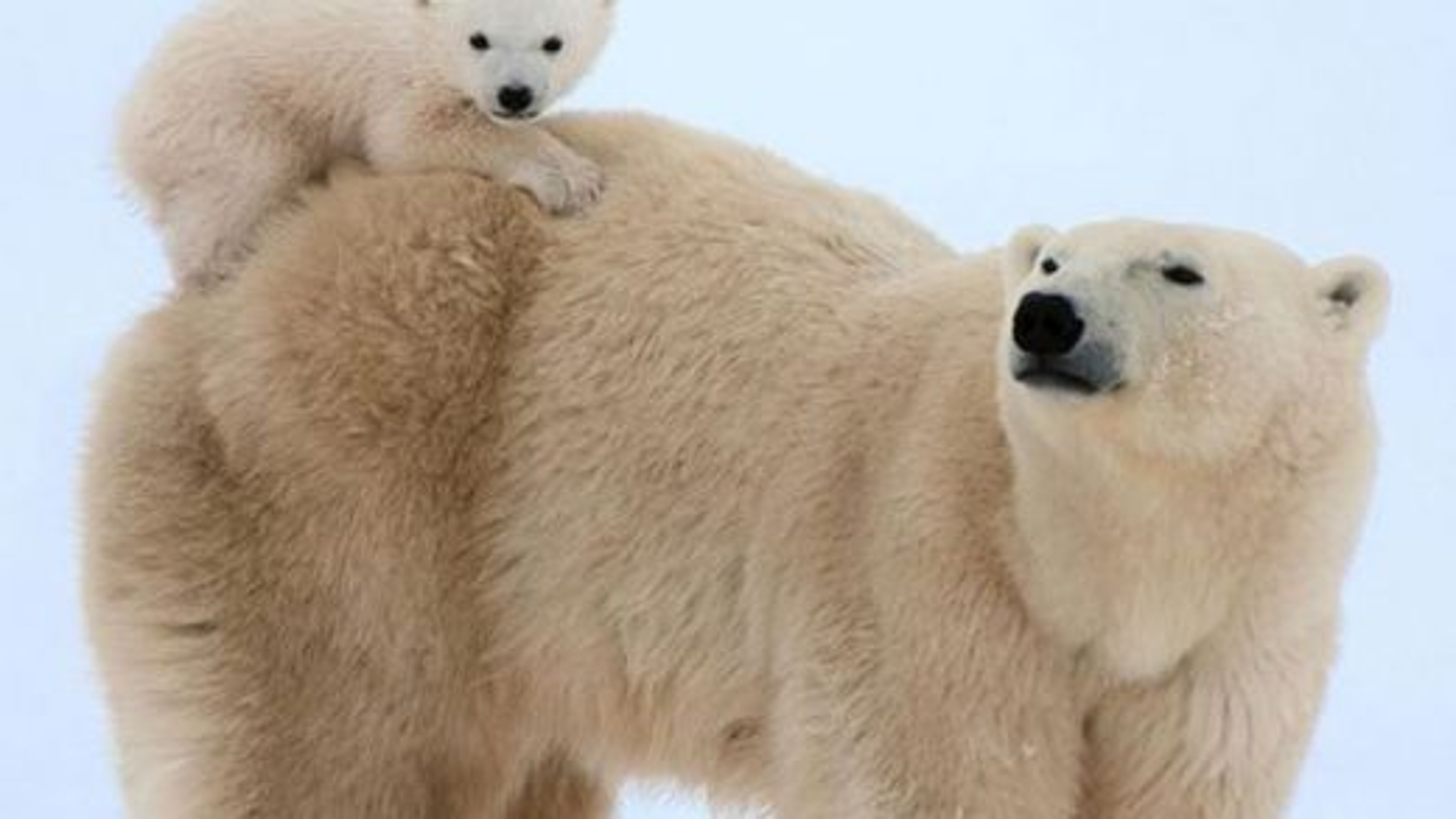 خرس قطبی | تگ